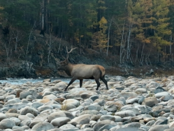 Autumn Hunting of Isubra deer, Siberian roebuck, brown bear and capercaillie in Buryatia, Russia