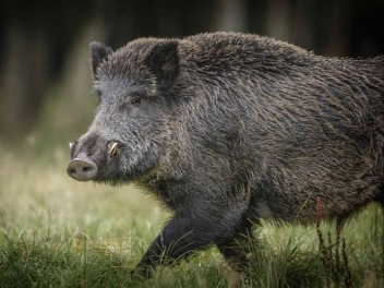 Summer special offer on strong boars in Turkey
