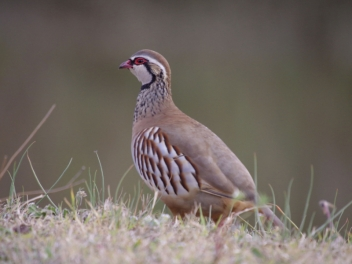 Red-legged partridge package hunting in Spain