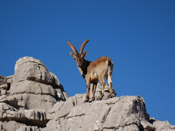 Ibex hunting in Spain