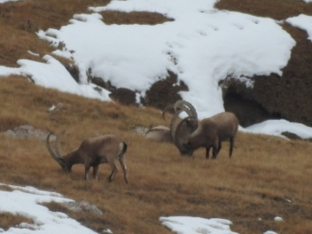 Siberian ibex hunting in best location / Kyrgyzstan