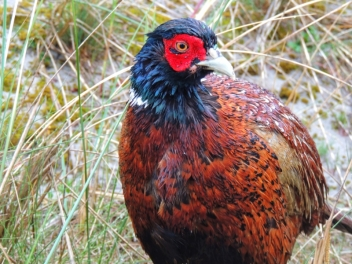 Driven pheasant and partridge shoot
