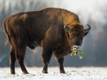 Bison hunt in Belarus