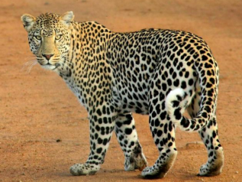 Leopards and antelope hunting in Zimbabwe